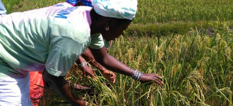 "ENGIM – ""SRI (System of Rice Intensification) in Sierra Leone"""